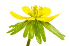 Flor amarela isolada do acônito de inverno Imagens de Stock Royalty Free
