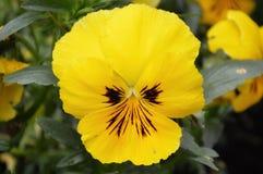 Flor amarela isolada do amor perfeito imagem de stock royalty free
