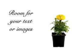 Flor amarela isolada no branco fotos de stock royalty free