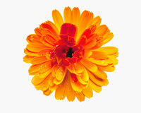 Flor amarela isolada no branco fotos de stock