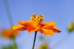 Flor amarela (Largeflower Tickseed} Fotos de Stock Royalty Free