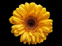 Flor amarela - macro imagem de stock royalty free