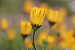 Flor amarela molhada da margarida Imagem de Stock