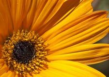 Flor amarela na flor Imagens de Stock Royalty Free