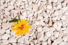 Flor amarela na natureza Cresce em rochas na rocha Fotos de Stock