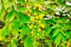 Flor amarela na natureza selvagem de Tailândia fotografia de stock royalty free