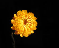 Flor amarela na obscuridade Fotografia de Stock Royalty Free