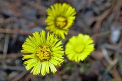 Flor amarela na primavera Foto de Stock Royalty Free