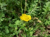 flor amarela na tarde da mola fotos de stock royalty free
