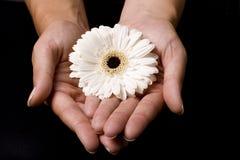 Flor amarela nas mãos da mulher Fotografia de Stock Royalty Free