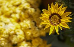 Flor amarela no fundo amarelo & escuro Foto de Stock