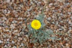 Flor amarela no fundo do cascalho (grande arquivo) Imagens de Stock