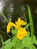 A flor amarela no fundo do lado do rio foto de stock royalty free