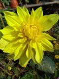 Flor amarela no jardim imagem de stock royalty free