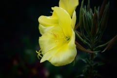Flor amarela no jardim na noite Imagens de Stock