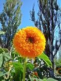 Flor amarela no parque contra as árvores e o céu azul Fotografia de Stock