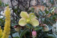 Flor amarela no tempo de mola após a chuva fotos de stock
