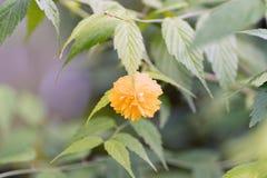 Flor amarela nova em um ramo no foco macio fotos de stock