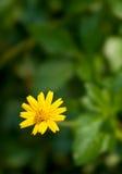 Flor amarela pequena Foto de Stock Royalty Free