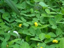 Flor amarela pequena da folha verde Imagem de Stock