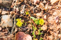 Flor amarela pequena na estrada rural do caminho na floresta no cascalho que olha impressionante fotos de stock royalty free
