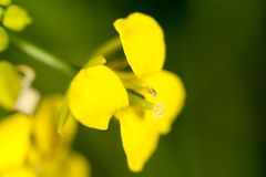 Flor amarela pequena na natureza Macro Fotografia de Stock Royalty Free