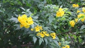 Flor amarela, pessoa idosa amarela, sinos amarelos vídeos de arquivo