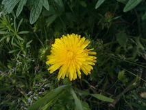 Flor amarela, plantas do campo, dente-de-leão, vegetationl, pouca flor, grama do campo, sol pequeno, cor amarela imagem de stock