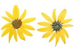Flor amarela pressionada e secada do tupinambo (topinambur Imagens de Stock Royalty Free