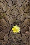 Flor amarela que brota através das quebras Fotografia de Stock Royalty Free
