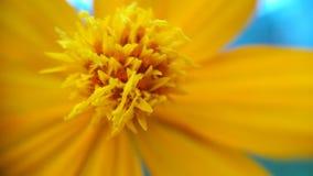 Flor amarela que olha mais perto do fundo fotografia de stock royalty free