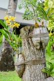 Flor amarela surpreendente bonita da orquídea da flor no jardim tropical imagens de stock