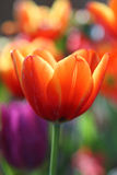 Flor amarela vermelha bonita do tulip Fotografia de Stock
