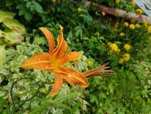 flor Amarelo-vermelha Imagens de Stock Royalty Free