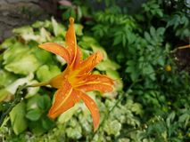 flor Amarelo-vermelha Imagem de Stock Royalty Free