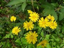 Flor amarga amarilla foto de archivo libre de regalías