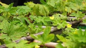 Flor amarga del amarillo de la vid de la hoja de la calabaza del jade verde de la naturaleza en el jardín botánico de Taiwán Taip almacen de metraje de vídeo