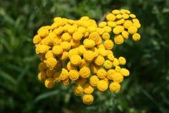 Flor amarilla Imagen de archivo libre de regalías