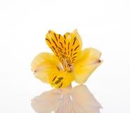 Flor amarilla imágenes de archivo libres de regalías