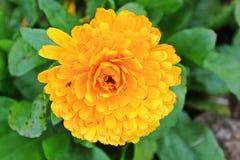 Flor amarilla aislada en el fondo blanco Fotos de archivo libres de regalías