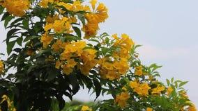 Flor amarilla, anciano amarilla, campanas amarillas almacen de metraje de vídeo