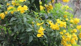 Flor amarilla, anciano amarilla, campanas amarillas almacen de video