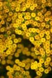 Flor amarilla Australia del viento Imagen de archivo libre de regalías