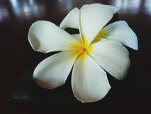 Flor amarilla blanca del plumeria fotografía de archivo