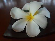 Flor amarilla blanca del plumeria foto de archivo libre de regalías