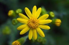 Flor amarilla brillante Foto de archivo libre de regalías