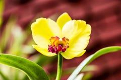 Flor amarilla brillante de la orquídea en el jardín Foto de archivo