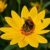 Flor amarilla brillante de polinización del Rudbeckia del abejorro Foto de archivo libre de regalías
