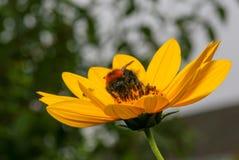 Flor amarilla brillante de polinización del Rudbeckia del abejorro Foto de archivo