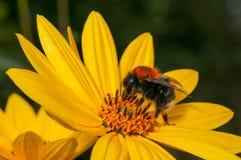 Flor amarilla brillante de polinización del Rudbeckia del abejorro Imagenes de archivo